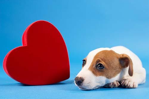 Doenças cardíacas acometem cerca de 35% dos cachorros idosos