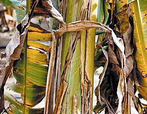 Plano de contingência protege plantações de banana contra novo fungo