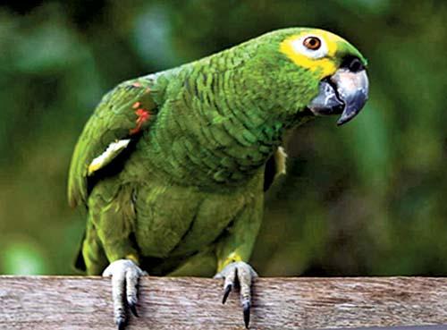 Papagaio reproduz bem em cativeiro se tiver boa alimentação, sol matinal e silêncio