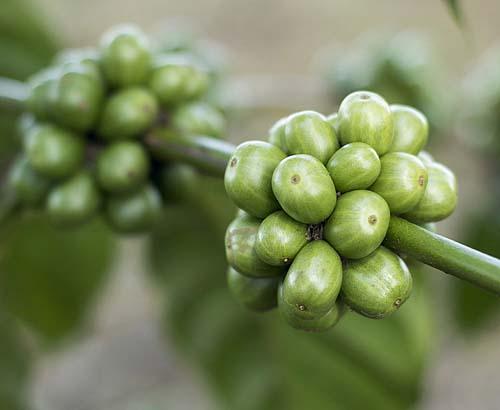 Sementes de café verde diferencia linha de cosméticos masculinos