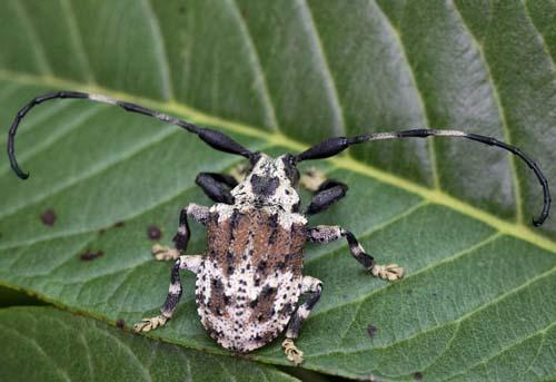Estudo aborda casos de besouro venenoso no interior de São Paulo
