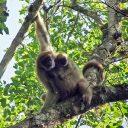 Mono-carvoeiro, maior primata das Américas está ameaçado de extinção