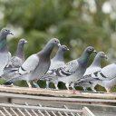 Eduardo Filetti aborda a proliferação de pombos na Baixada Santista