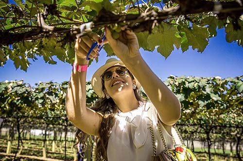 Festa da colheita das uvas agitará a Vinícola Góes em 2020