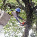 Poda de árvores em Santos terá mais equipes e equipamentos