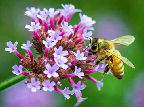 Método exige menos insetos para detectar agrotóxicos em abelhas
