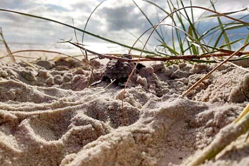 Monitoramento da última temporada reprodutiva de tartarugas marinhas