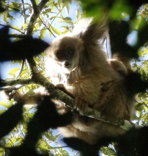 Muriqui-do-sul é identificado em reserva florestal no Sul de Minas Gerais
